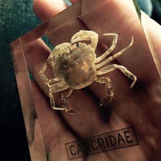 krabbe