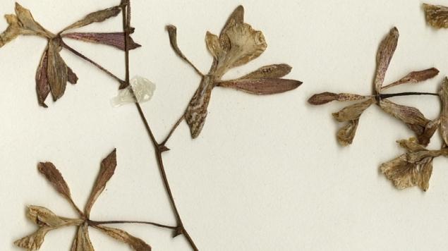 herbarium orkide